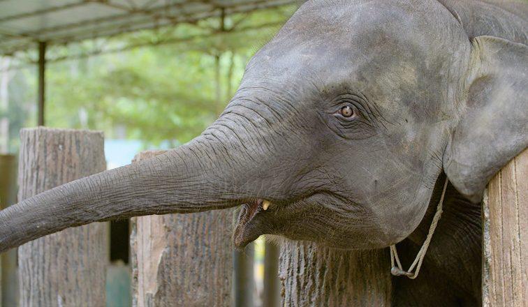 Kuala Gandah Elephant Sanctuary   Swimming with Elephants in Malaysia   ANYDOKO   Travel Video