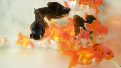 Goldfishes In Tank | Goldfish Cafe In Tokyo | Japanoizy | Japan Travel Video | ANYDOKO